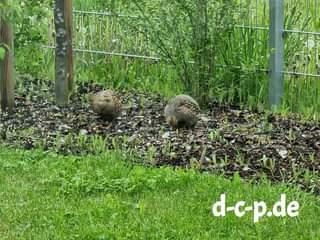 Rebhühner auf unserem Kanzleigelände – spricht für eine intakte Natur  #ansbach …